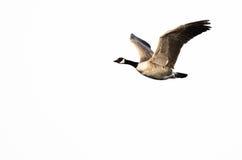 加拿大反对白色背景的鹅飞行 免版税库存图片