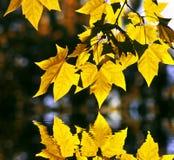 加拿大叶子槭树反映水黄色 免版税库存照片