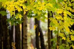 加拿大叶子槭树 免版税图库摄影