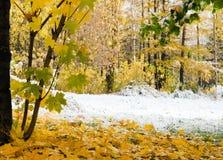 加拿大叶子槭树 图库摄影