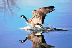 加拿大在一个光滑的池塘的鹅着陆在水中 免版税库存照片
