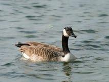 加拿大在一条河的鹅游泳在春天 免版税库存照片