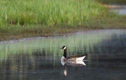 加拿大在早晨雾池塘的鹅游泳 库存照片