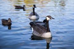 加拿大在湖的鹅游泳 免版税库存图片