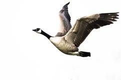 加拿大在白色背景的鹅飞行与被伸出的翼 免版税库存图片