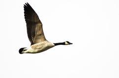 加拿大在白色背景的鹅飞行 免版税库存图片