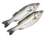 加拿大在鲜鱼的条纹分离 库存图片