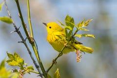 加拿大地点国家安大略公园pelee点鸣鸟黄色 免版税图库摄影