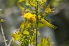 加拿大地点国家安大略公园pelee点鸣鸟黄色 库存图片