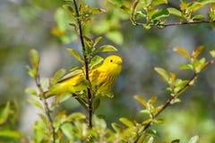 加拿大地点国家安大略公园pelee点鸣鸟黄色 免版税库存照片
