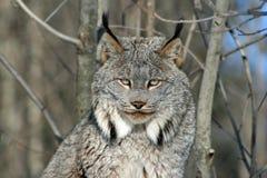加拿大天猫座在冬天 免版税库存照片