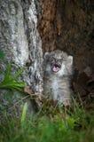 加拿大天猫座天猫座canadensis小猫哭泣 库存图片