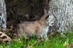 加拿大天猫座(天猫座canadensis)小猫哭泣在右边 库存照片