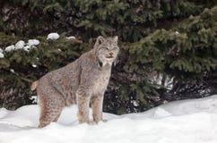 加拿大天猫座 免版税库存图片
