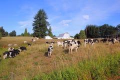 加拿大奶牛场 库存图片