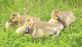 加拿大幼鹅 库存图片