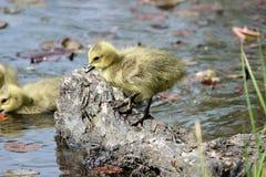 加拿大幼鹅 库存照片