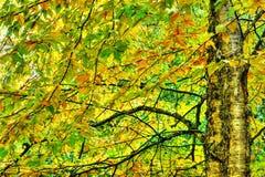 加拿大桦严重的hdr在秋天期间的 库存照片