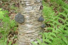 加拿大桦真菌 免版税图库摄影