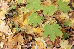 加拿大槭树的叶子反对下落的叶子的 免版税库存图片