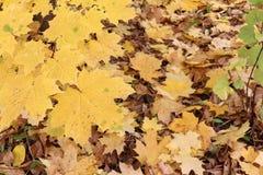 加拿大槭树的黄色叶子反对下落的叶子的 库存照片