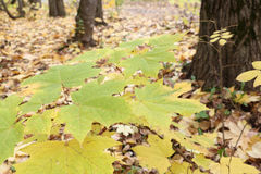 加拿大槭树的黄色叶子反对下落的叶子的 免版税库存照片