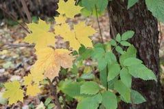 加拿大槭树的黄色叶子反对下落的叶子的 库存图片