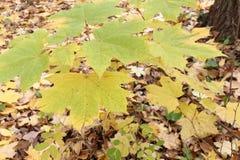 加拿大槭树的黄色叶子反对下落的叶子的 图库摄影