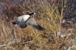 加拿大横跨冬天地形的鹅飞行 免版税图库摄影