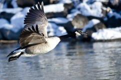 加拿大横跨斯诺伊冬天地形的鹅飞行 免版税库存照片