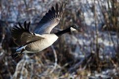 加拿大横跨斯诺伊冬天地形的鹅飞行 库存照片