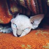 加拿大狮身人面象小猫 免版税库存照片