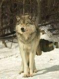 加拿大狼 免版税库存图片