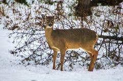 加拿大的冬天视图 库存照片