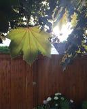 加拿大的槭树 库存照片