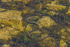 加拿大红支持的花纹蛇 免版税库存照片