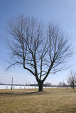 加拿大结构树 库存图片