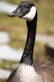 加拿大绣花丝绒忘记了鹅 免版税库存照片