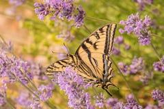 加拿大老虎Swallowtail蝴蝶 图库摄影