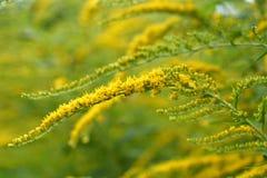 加拿大菊科植物关闭 免版税图库摄影