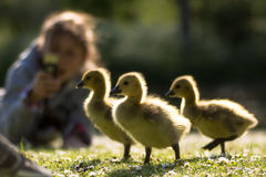 加拿大被拍摄的鹅(黑雁canadensis)幼鹅 免版税库存照片