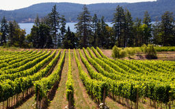 加拿大西方海岸的葡萄园 免版税库存照片