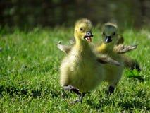 加拿大跑在草的鹅幼鹅 免版税库存图片