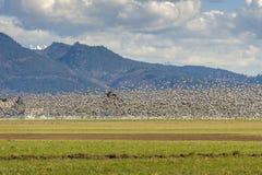加拿大雪雁的Murmuration在Skagit谷,华盛顿的 免版税图库摄影