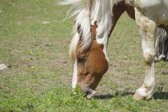 加拿大马画象 库存照片