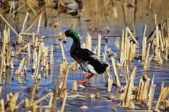 加拿大鸭子野鸭安大略渥太华 免版税图库摄影