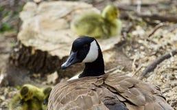 加拿大鹅一个年轻家庭的美好的图片  库存照片