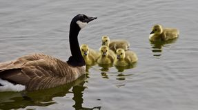加拿大鹅一个年轻家庭的美好的被隔绝的图片游泳在湖的 库存图片