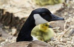 加拿大鹅一个年轻家庭的美好的被隔绝的图片  免版税库存照片