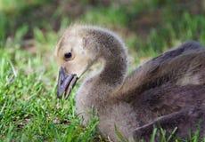 加拿大鹅一只逗人喜爱的小鸡的图象吃草的 库存图片